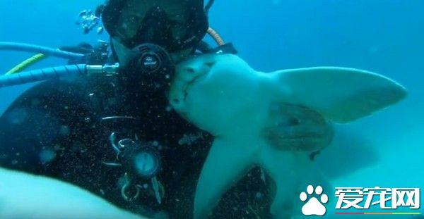 认识7年 澳洲男子每次潜水大鲨鱼就游来撒娇