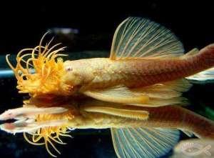 生物学家发现屁声响亮怪鱼